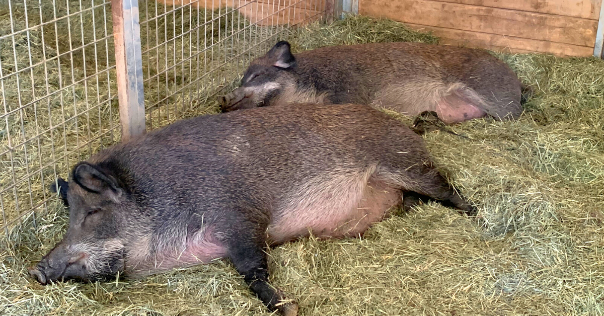 A picture containing grass, hay, mammal, swine Description automatically generated
